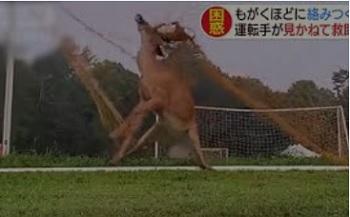 サッカーゴールにがんじがらめになった鹿