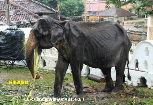 痩せた象スリランカ