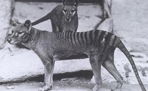 タスマニアタイガー(フクロオオカミ))