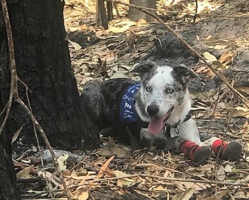 豪山火事・コアラ救出のために犬が靴下をはいて出動