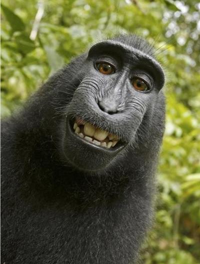 インドネシア・スラウェシ島に生息する雄のクロザル「ナルト」が4年前に撮影した「自撮り写真」。傑作のあまり、著作権は誰のものなのかという問題を巻き起こした(AP)