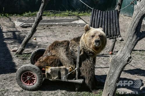 二輪歩行器に乗ったクマ死ぬ