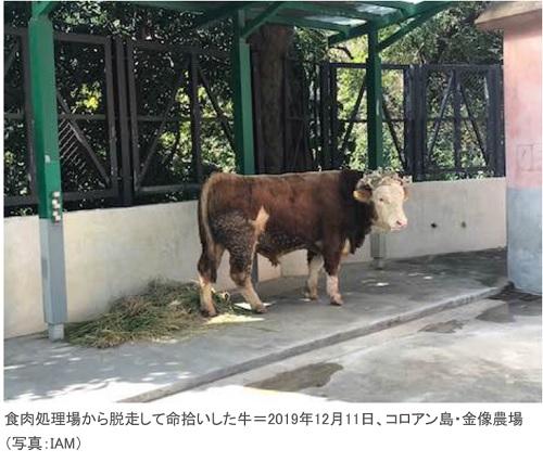 食肉処理場から脱走し、命拾いをした牛