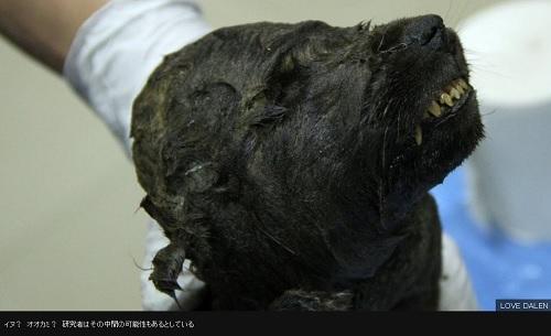 1万8000年前の「イヌ」、永久凍土から発見