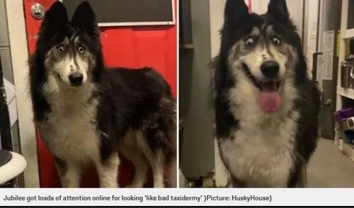 外見のために引き取り手がないハスキー犬2