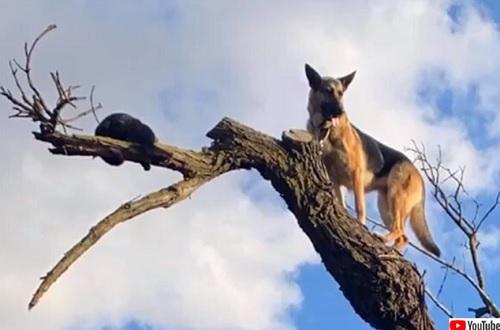 猫を追いかけて気に上り降りられなくなった犬