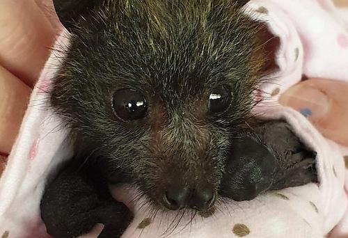 オーストラリア森林火災で親を失ったコウモリの赤ちゃん
