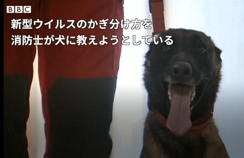 新型ウイルス感染者を特定する検知犬を訓練