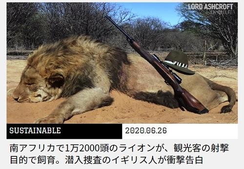 南アフリカで1万2000頭のライオンが、観光客の射撃目的で飼育
