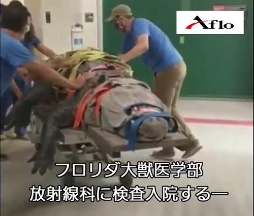 体重300kgのワニが検査入院