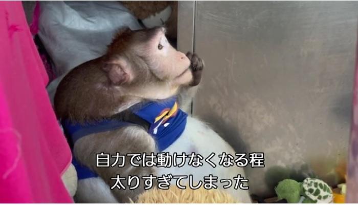太りすぎて動けなくなった猿