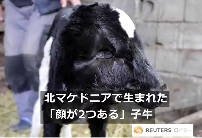 顔が2つある牛