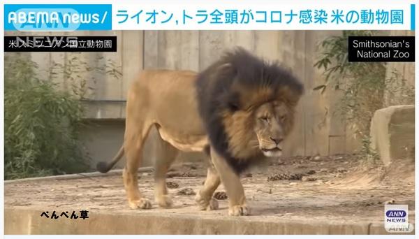 アメリカの動物園のライオントラ全部コロナに感染